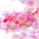 japanese-cherry-trees-587452_640
