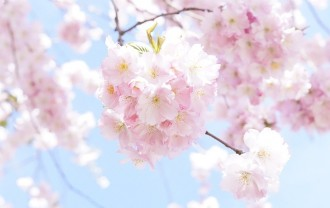 japanese-cherry-trees-724292_640